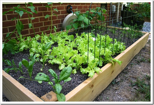 Garden-LeftSide-Spinach